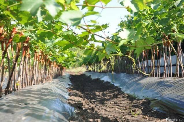 Отличные однолетние саженцы винограда с развитой корневой системой